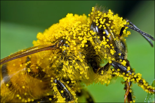 warren county conservation board honeybee covered in pollen