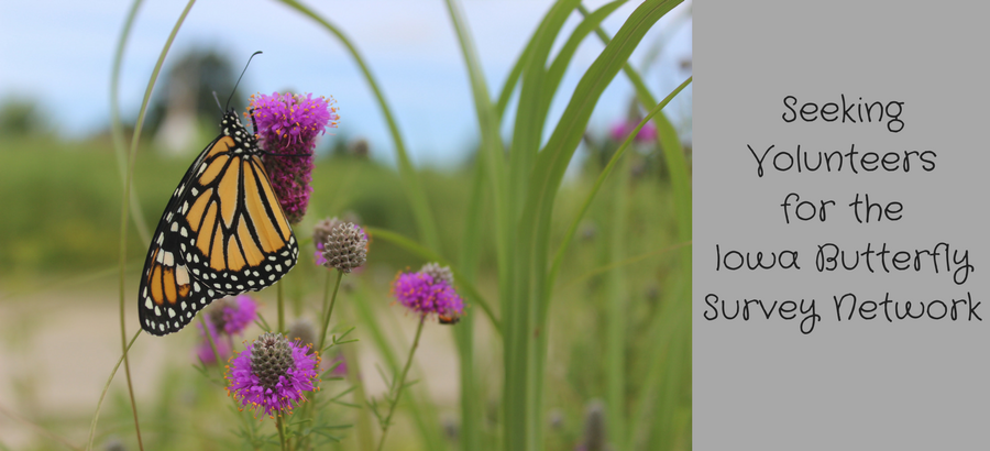Seeking-Volunteers-for-theIowa-Butterfly-Survey-Network